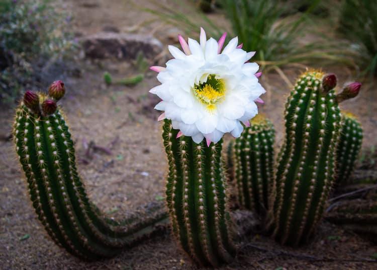 Flowering Cactus by Serge Van Neck
