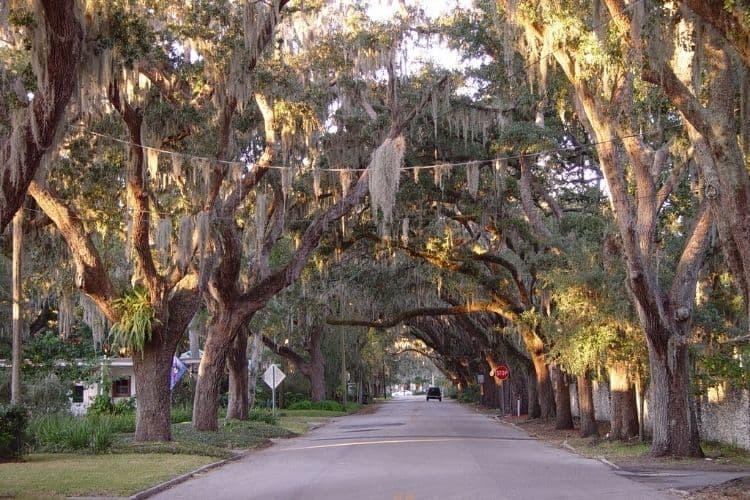 Live Oaks in Florida