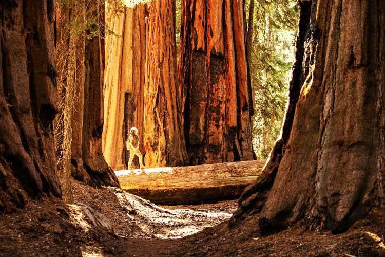 Walking among Yosemite's sequoia trees is awe-inspiring. Photo by Anna Dudko/Dreamstime.com