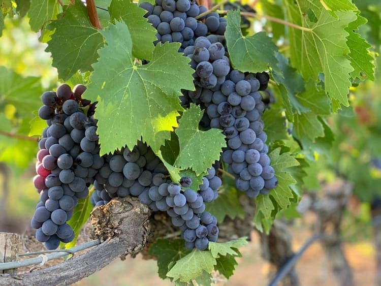 Grapes used for wine in Tuscany, Italy