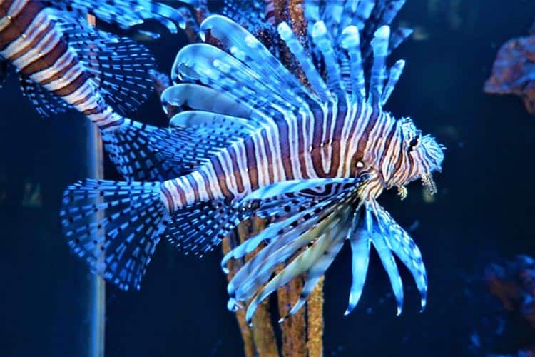 Lionfish are apparently both bizarre-looking and tasty. Photo by Victor Block