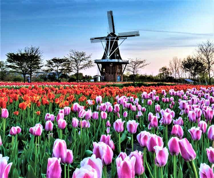 The ethnic appearing De Zwaan Windmill would be at home in The Netherlands. Photo by Christopher Major