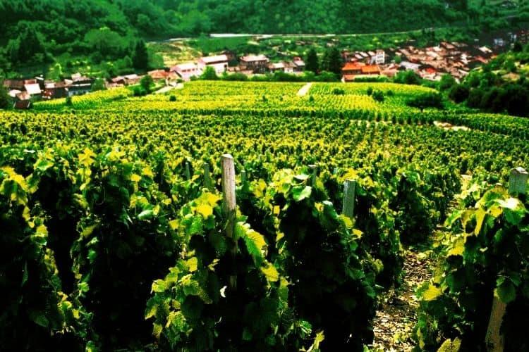 Beaujolais Wine Region in France