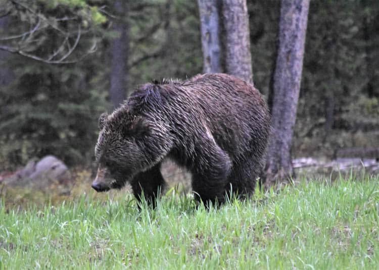 Yellowstone Roadtrip Grand Teton grizzly