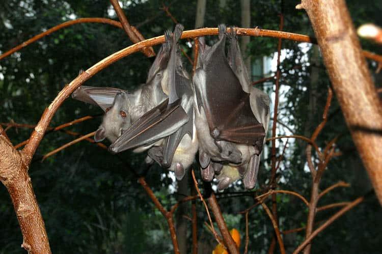 Zambia African Fruit Bat