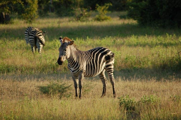 Zambia South Luangwa