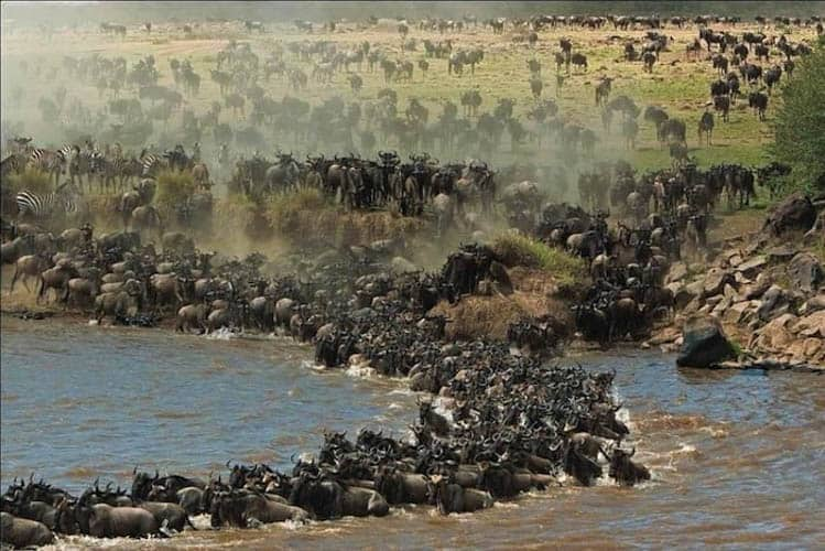 Wildebeest Migration Chaos at the river's edge