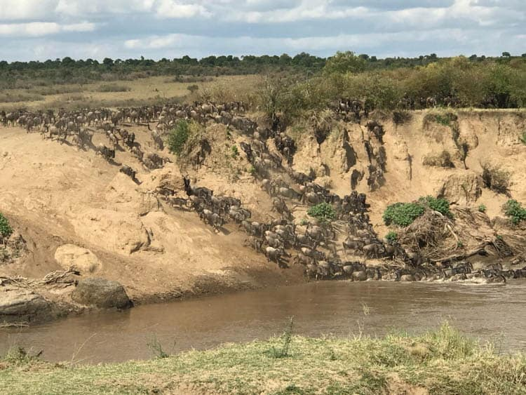 Wildebeest Migration Rush to the water