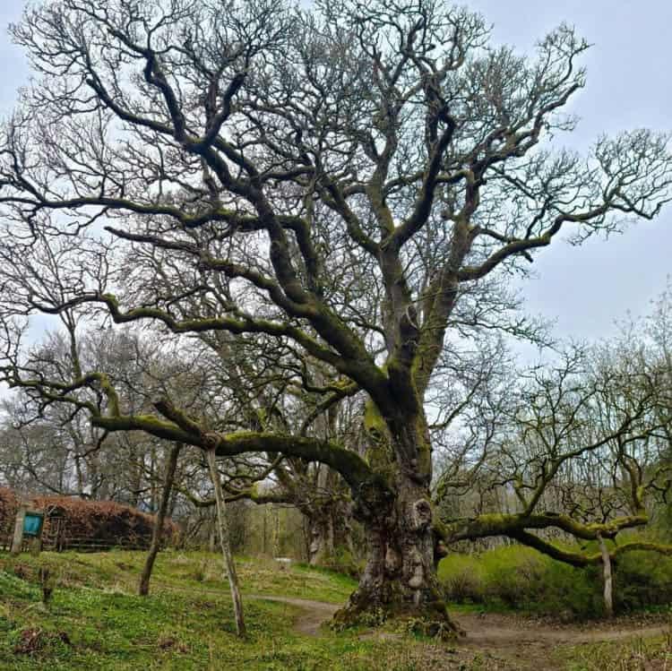 Scotland in Autumn. Birnham Oak